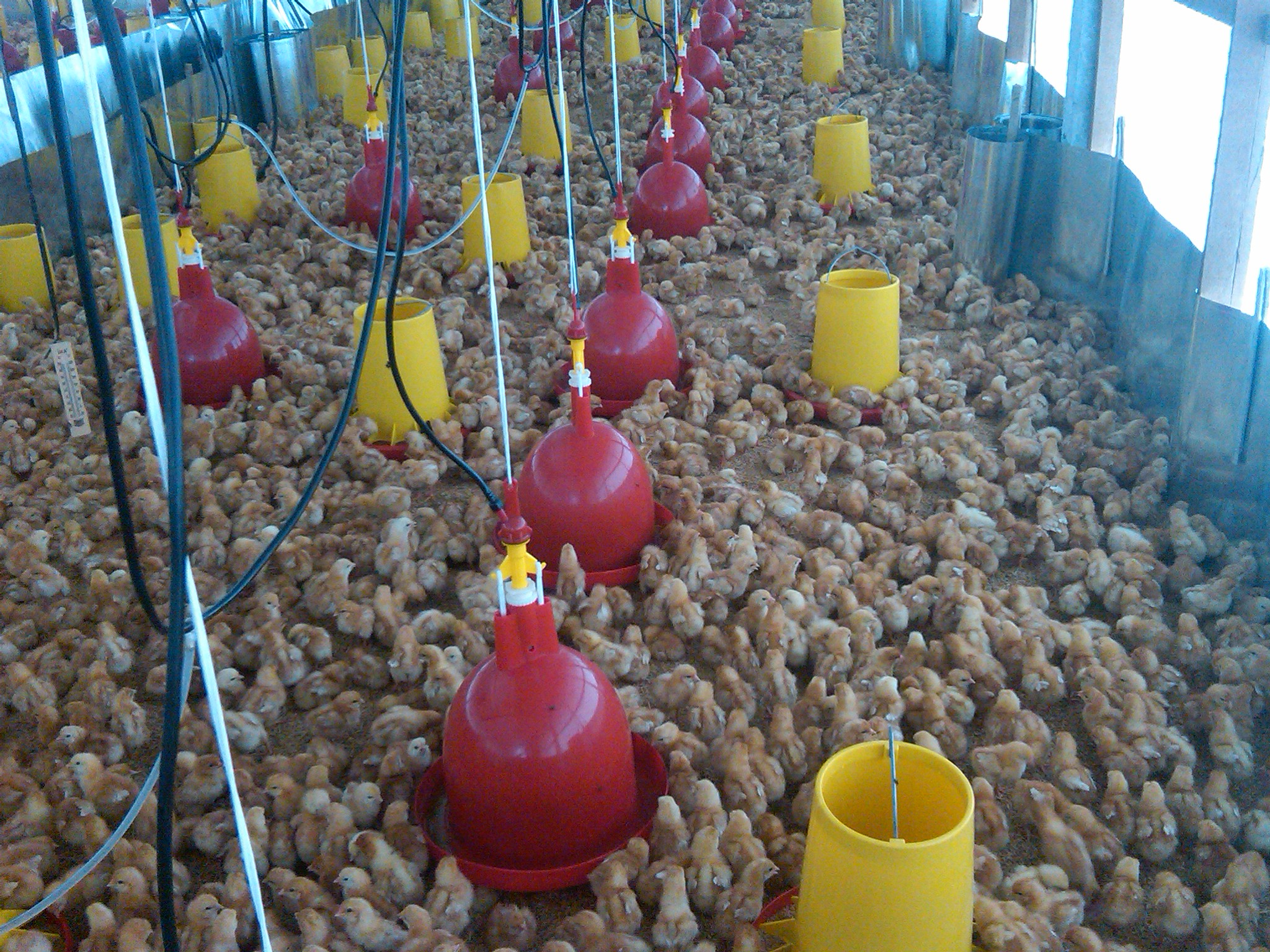 Jual Tempat Pakan Ayam